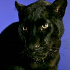 Panther available for film, television and photography