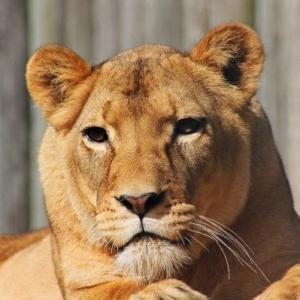 Lioness available for film, television and photography