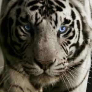 White Tiger available for film, television and photography