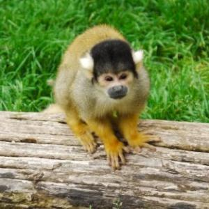 Black Cap Squirrel Monkey available for film, television and photography