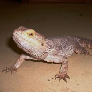 Bearded Dragon available for film, television and photography