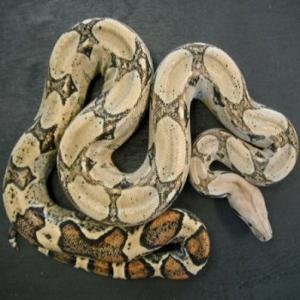 Boa Constrictor available for film, television and photography