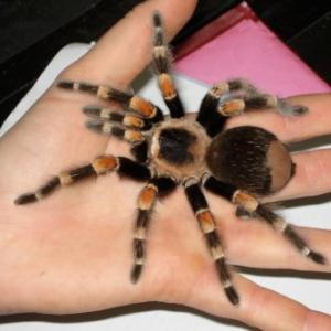 Mexican Redknee Tarantula available for film, television and photography