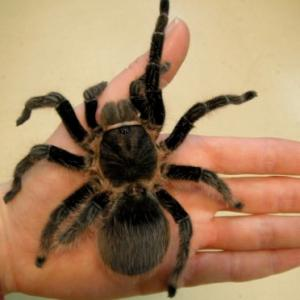 Honduran Curly Hair Tarantula available for film, television and photography
