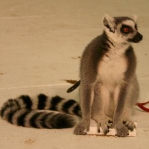 Lemur available for film, television and photography