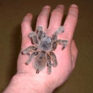 Chilean Rose Tarantula available for film, television and photography