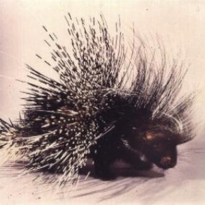 Porcupine available for film, television and photography