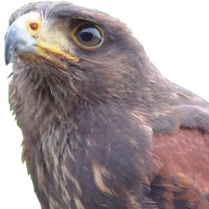 Harris Hawk available for film, television and photography