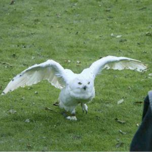 White Owl (Snowy Owl) available for film, television and photography