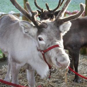 Reindeer for film, television and photography